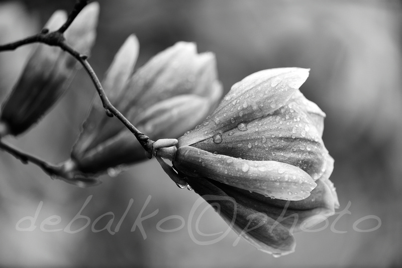 magnolia3.30.20_028bw