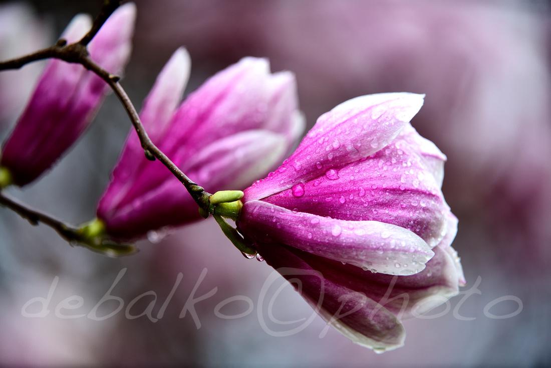 magnolia3.30.20_028c