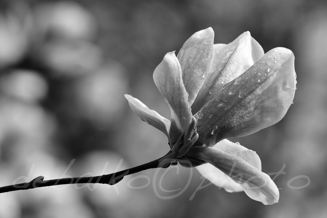 magnolia3.30.20_198bw