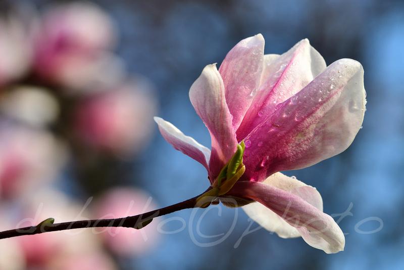 magnolia3.30.20_198c