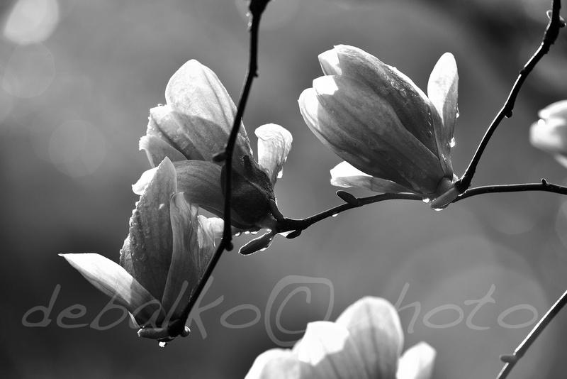 magnolia3.30.20_247bw
