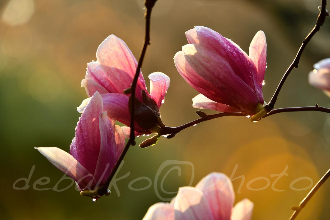 magnolia3.30.20_247c